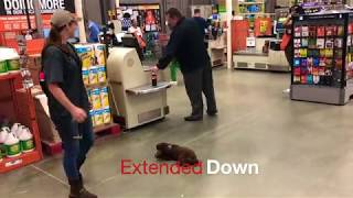 """Toy Poodle """"Theodore"""" Masters obedience training with Off Leash K9 Training, Maryland"""