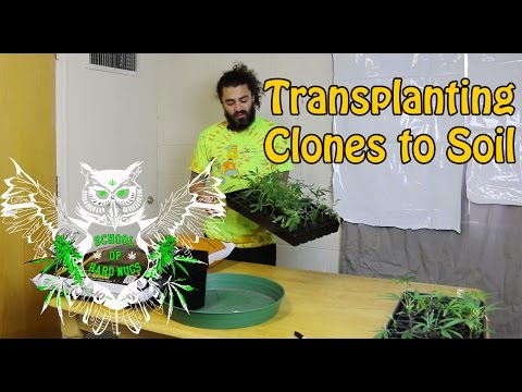 Transplanting Clones to Soil | Transplanting rooted Clones