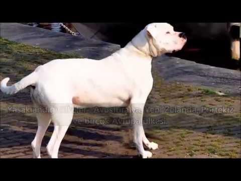 Yasaklanmış 10 Köpek Irkı