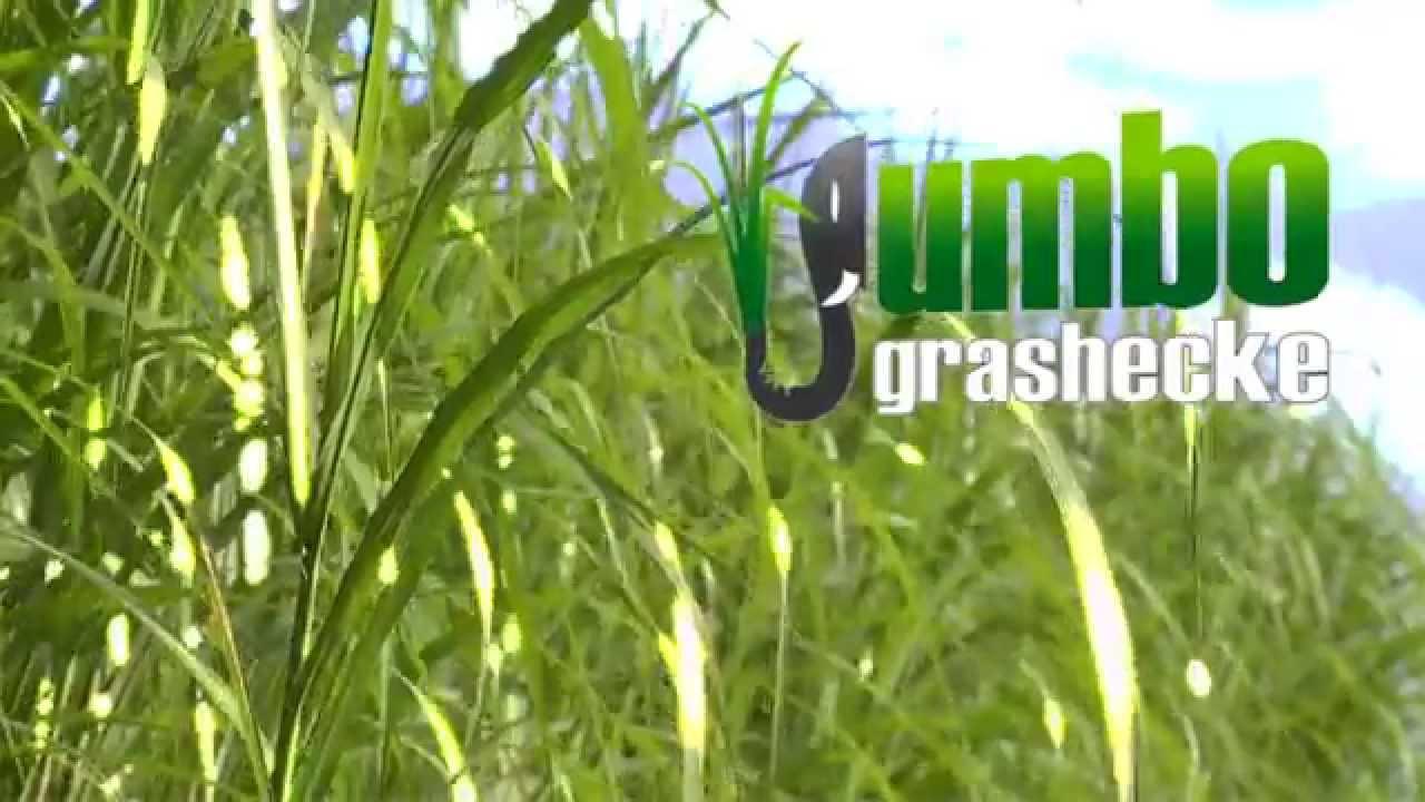 Jumbogras Als Alternative Heckenpflanze Hier Als Sichtschutz An