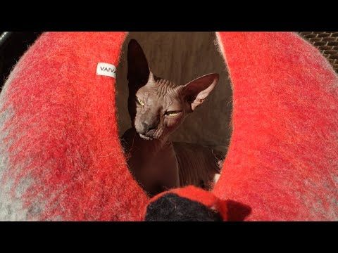 Sphynx cat Chikita is testing a new house from pure wooll ✔️