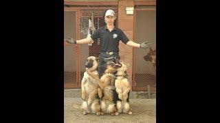 Воспитание овчарки за 3 месяца