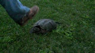 large snapping turtle caught in bristol connecticut snaps at handler