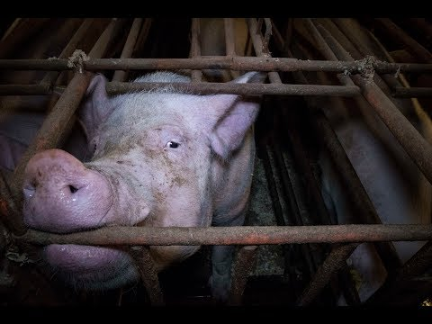 British Pig Farms 2017