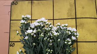 [인터넷꽃도매시장]다이아몬드소국 1등급 꽃집 꽃집창업 …