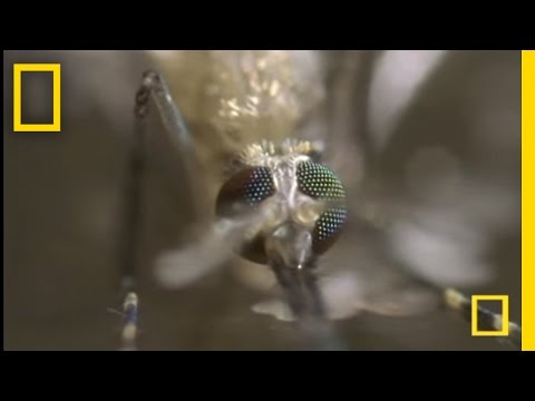 The Mosquito | National Geographic