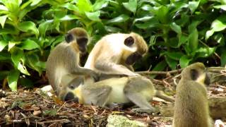 Newborn Green Monkey Part 1