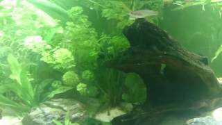Jeunes axolotls