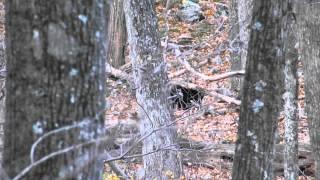 Shenandoah Black Bear digging for food