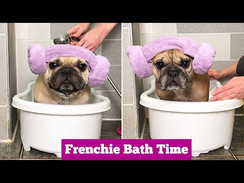 HOW TO BATH A FRENCH BULLDOG | Part 1