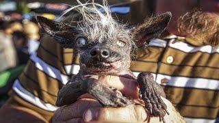 САМЫЕ УРОДЛИВЫЕ СОБАКИ. Самые страшные собаки. Топ самых уродливых собак [Удивительный мир#28]