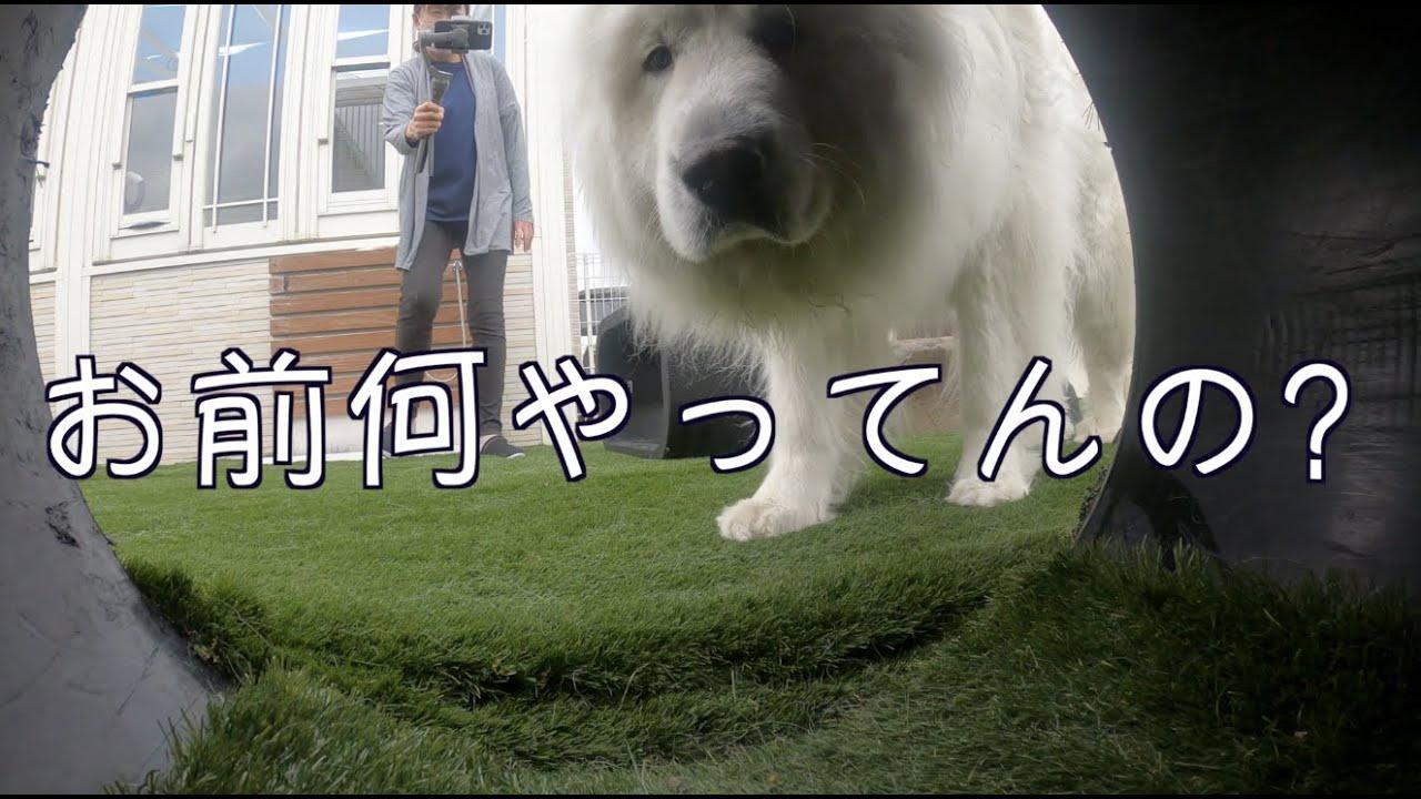 愛犬とかくれんぼ グレートピレニーズ