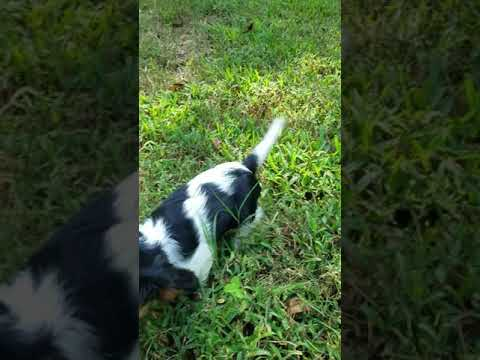 Annie and Hunters Cavalier King Charles Spaniel puppies