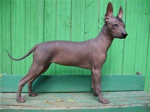 Лысые собаки и особенности ухода за ними