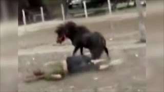 Miniature Horse Attacks Man - After He Tried Riding Him