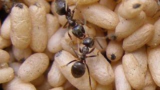 Муравьиная ферма(ant farm). Новичкам. Lasius niger