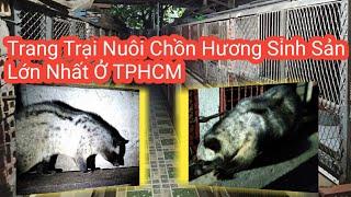 Trang Trại Nuôi Chồn Hương Sinh Sản Lớn nhất TP.HCM