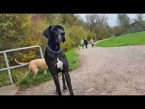 Dobermann hat Respekt vor der Deutschen Dogge