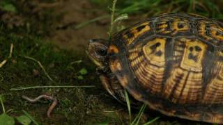 The Eastern Box Turtle Documentary