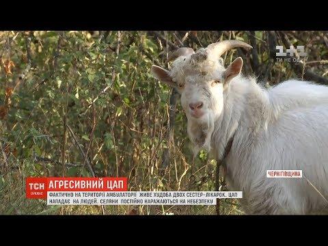 ТСН: На Чернігівщині дві сестри-лікарки перетворили лікарняний двір у пасовисько для власних кіз