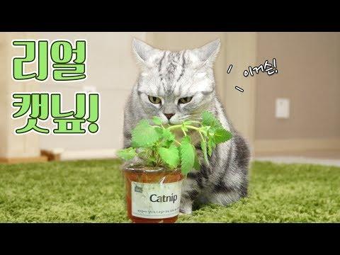 살아있는 캣닢 풀을 본 고양이들 반응은?! 꿀잼