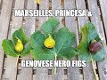 Figs: Taste review on the Marseilles, Princesa, and Genovese Nero AF