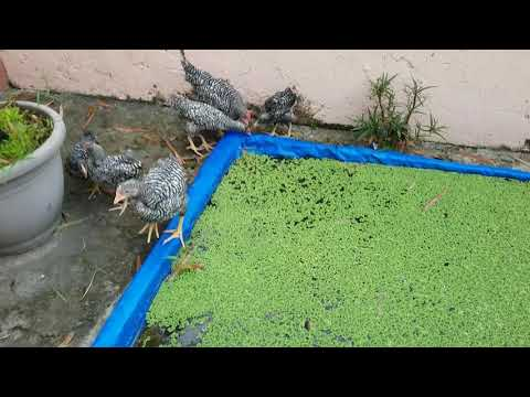 Disadvantages of Azolla as Feeds for Chickens 1/2 - Integrated Backyard Farming