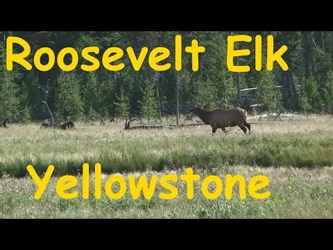 Roosevelt Elk in Yellowstone National Park