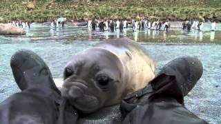 Curious Baby Seal Approaches Cameraman