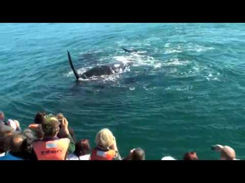 Exceptional footage of Southern Right Whales Mating - Hermanus - South Africa