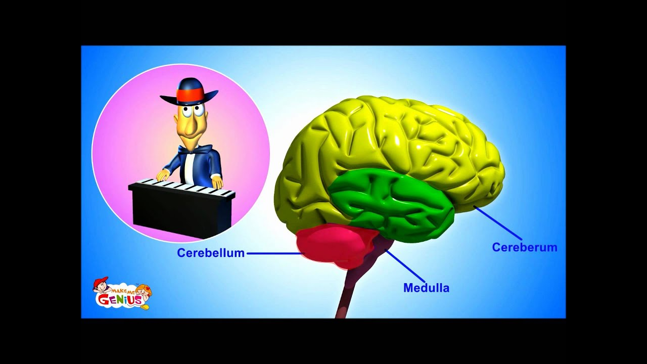 hight resolution of the nervous system animation video for kids from www makemegenius com