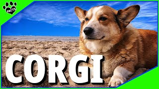 Pembroke Welsh Corgi Facts Dogs 101