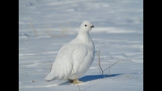 Охота на белую куропатку с подхода