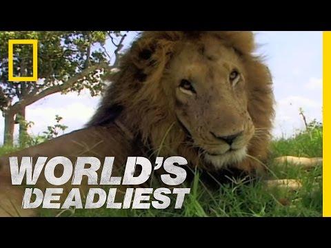 ^~ Free Watch Lion Vs Lion
