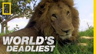 Lion vs. Lion | World's Deadliest
