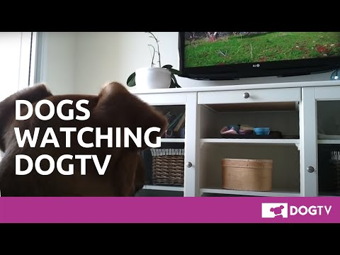 Dogs love to watch DOGTV!