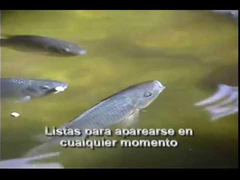 Guillermo Acuaponia y cria de peces en Rancho Cucamonga CA