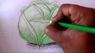 How to draw Cabbage step by step