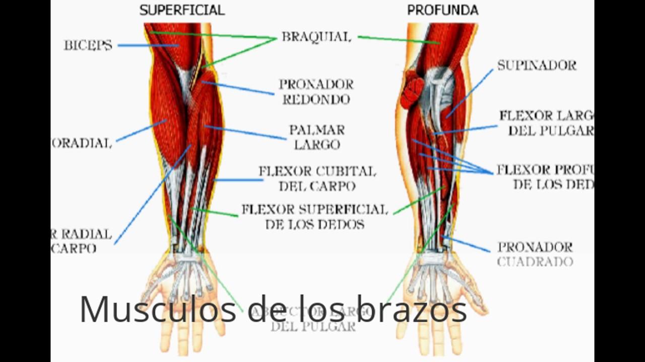 Contemporáneo Músculos Del Diagrama Brazo Patrón - Anatomía de Las ...