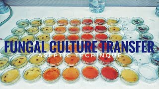 How to plate a fungal culture on a petri dish