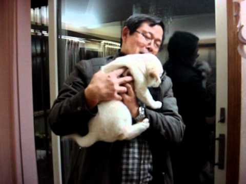 Jindo/Poongsan Puppy Greeting