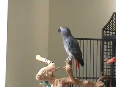 Nice song singing buy parrot