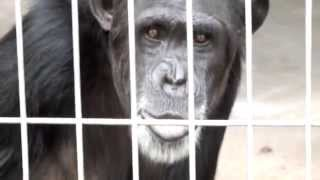 A whistling Chimpanzee.チンパンジーの口笛。 TOBU ZOO.東武動物公園。...