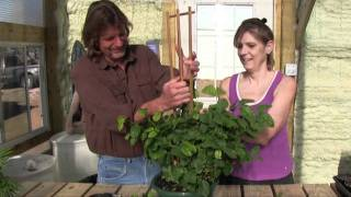 Insulated Greenhouse -Trellising a Jasmine Plant