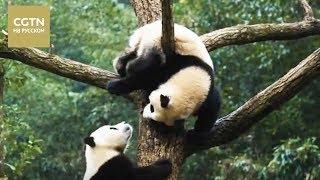 Документальные фильмы Это Китай Серия 2 Пандаленд[Age 0+]
