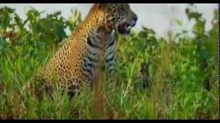 Охота Ягуара за крокодилом, кто кого? https://youtu.be/sk75ZYSCGq4