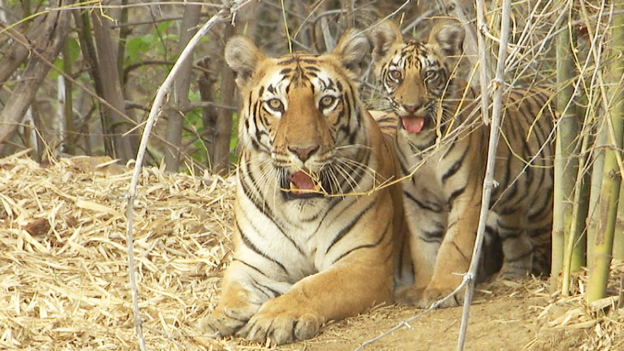 save tigers Save tiger logo of national  project tiger is a tiger conservation programme launched in 1973 by the government of india during prime minister indira gandhi's tenure.