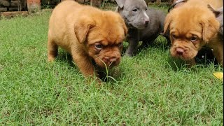 American Bully, French Mastiff Puppies with playing video 9896504757, Doggyz World