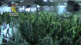 Diez detenidos tras hallar una plantación con 4.200 plantas de marihuana