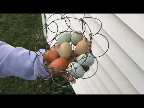 the-best-egg-laying-chicken-breed-for-backyard-flocks